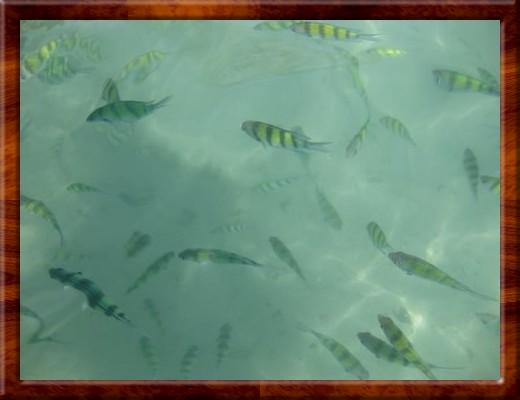 013 FISH SWIMMING UP TO US AT Phi Phi Islands